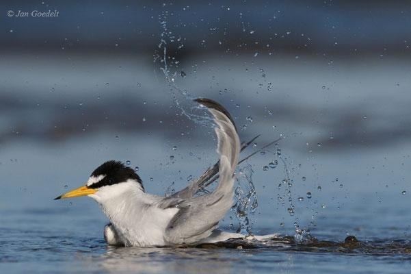 Zwergseeschwalbe badet intensiv