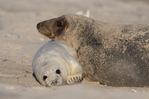Kegelrobbemutter schmust mit ihrem Jungtier