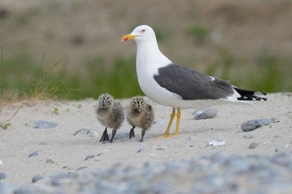 Heringsmöwe mit zwei Jungvögeln