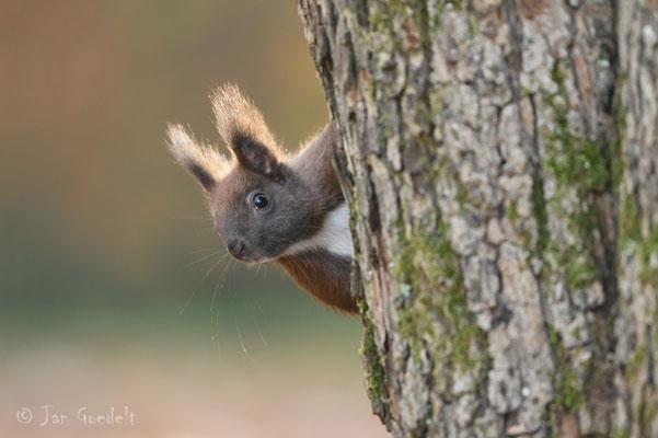 """Eichhörnchen schaut um die Ecke (mehr Bilder unter """"Themenfotos"""")"""