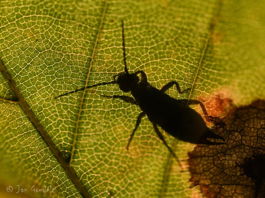 Umriss eines Insekts scheint durch ein Blatt