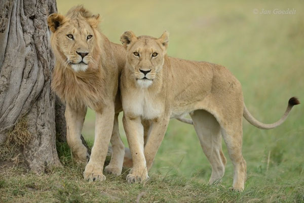 Junges Löwenpaar, Masai Mara (Kenia)