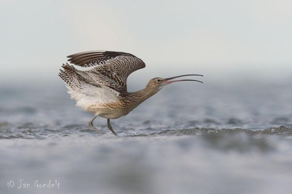 Großer Brachvogel droht einem Artgenossen