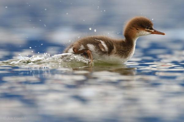 Mittelsäger-Jungvogel läuft über das Wasser
