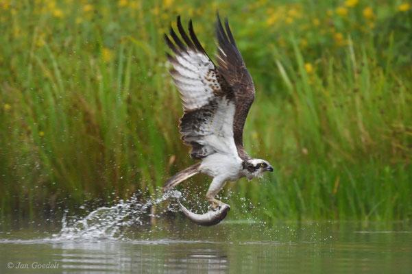 Fischadler fliegt nach erfolgreicher Jagd ab