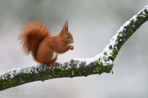 """Eichhörnchen auf verschneitem Ast (mehr Bilder unter """"Themenfotos"""")"""