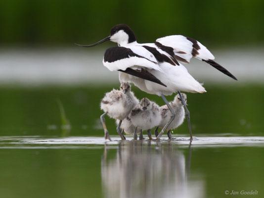 Die jungen Säbelschnäbler verkriechen sich im Gefieder des Altvogels