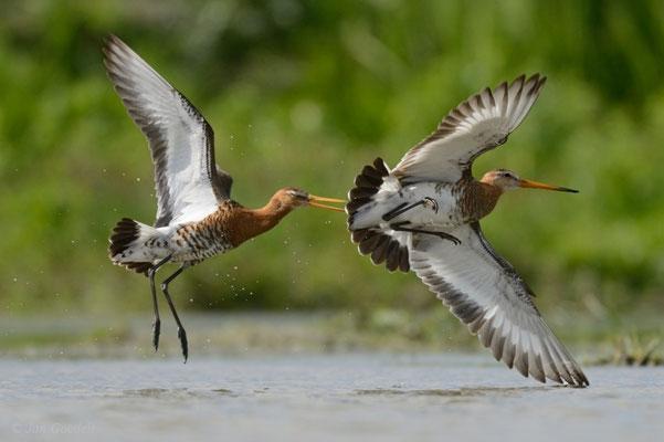 Uferschnepfen streiten sich