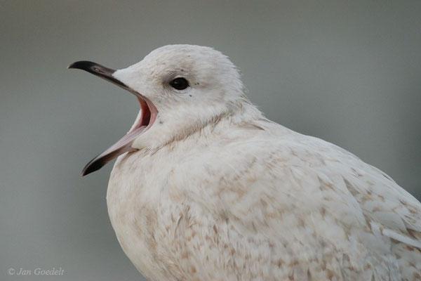Polarmöwe als sehr seltener Wintergast an der Nordsee