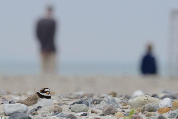 Das Brüten am Strand schafft viele Störungen...