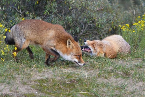 Zwei Rotfüchse treffen sich