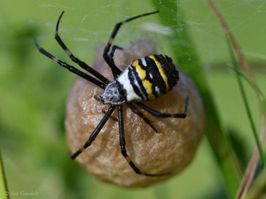 Wespenspinnen-Weibchen bewacht ihren Eier-Kokon