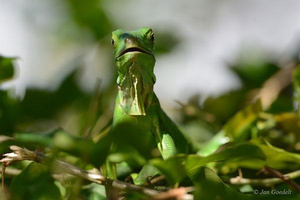 Grüner Leguan im Geäst, Florida