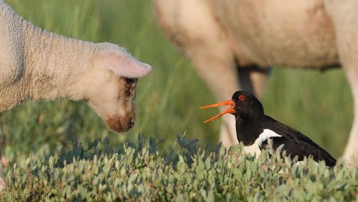 Austernfischer verteidigt seine Jungvögel vor einem Schaf
