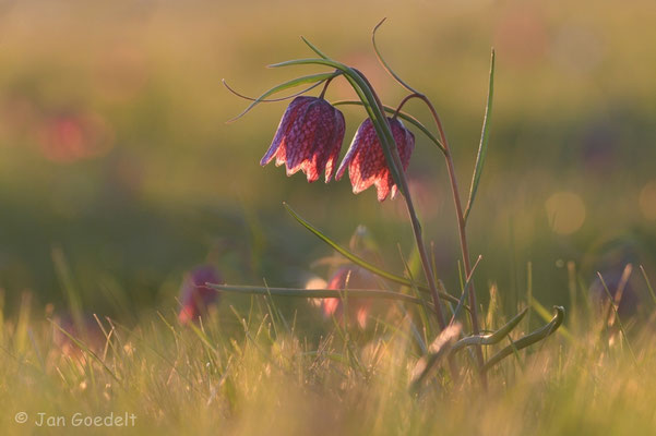 Schachbrettblumen im Gegenlicht
