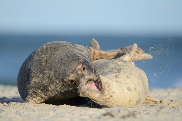 Paarungswilliger Kegelrobbenbulle beißt Weibchen