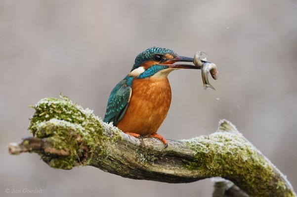 Eisvogel mit zwei (!) Fischen