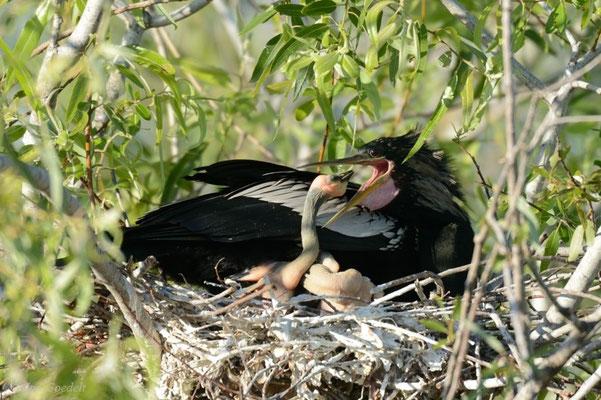 Fütternder Amerikanischer Schlangenhalsvogel, Florida