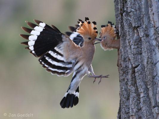 Wiedehopf füttert seinen Nachwuchs im Flug