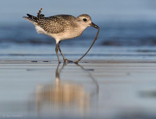 Kiebitzregenpfeifer zieht einen Wurm aus dem Boden
