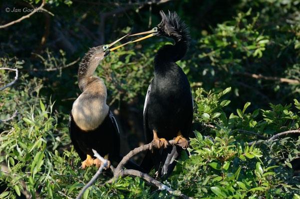 Balzendes Pärchen eines Amerikanischen Schlangenhalsvogels, Florida