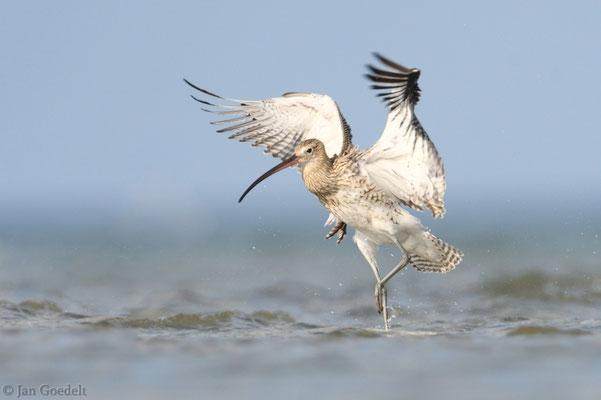 Großer Brachvogel landet in der Ostsee