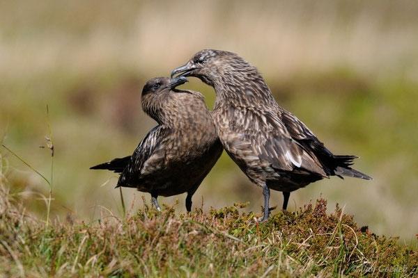Paar der Skua krault sich