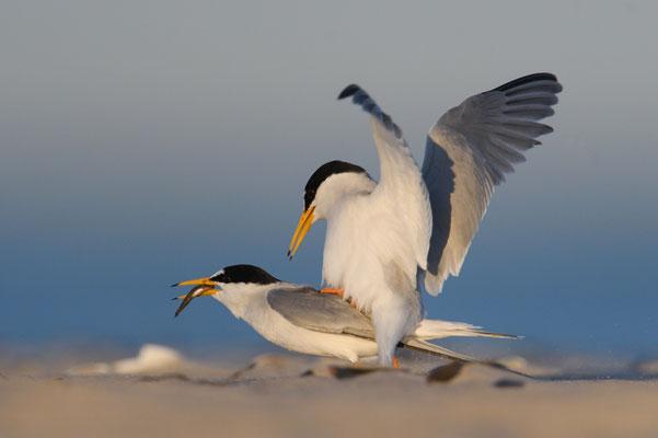 Zwergseeschwalbe auf dem Höhepunkt der Paarung