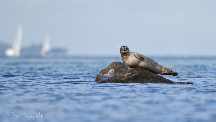 Seehund ruht auf Stein in der Ostsee