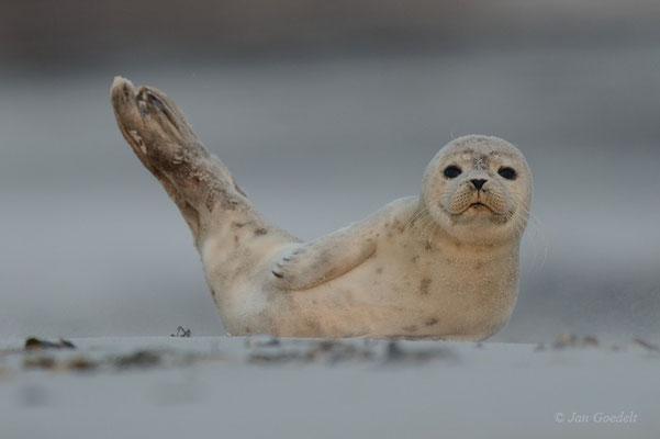 """Junger Seehund ruht am Strand (mehr Bilder unter """"Themenfotos"""")"""