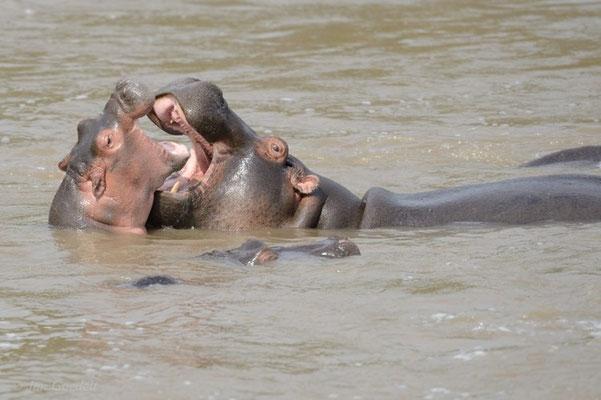 Zwei balgende Flusspferde, Masai Mara (Kenia)