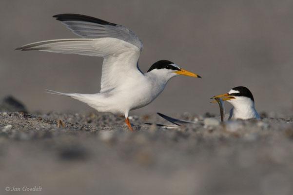 Zwergseeschwalbe hat Futter an den brütenden Partner übergeben