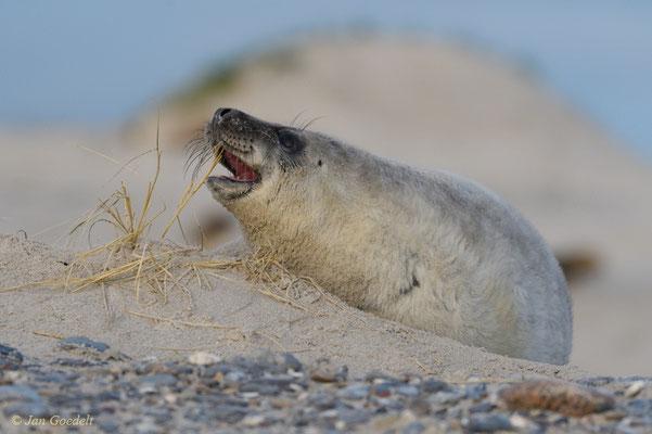 Junge Kegelrobbe beißt spielerisch in Grashalme
