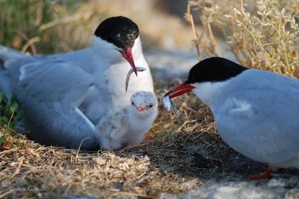 Küstenseeschwalben mit frisch geschlüpftem Jungvogel