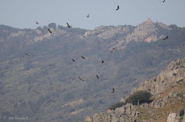 Gänsegeier starten morgens von ihre Schlafplätzen in den Felsen