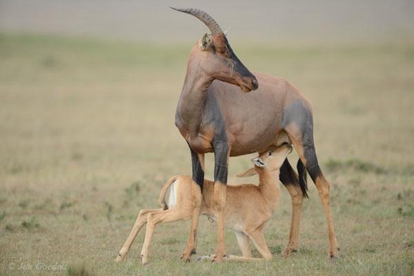 Junge Leierantilope trinkt bei ihrer Mutter, Masai Mara (Kenia)