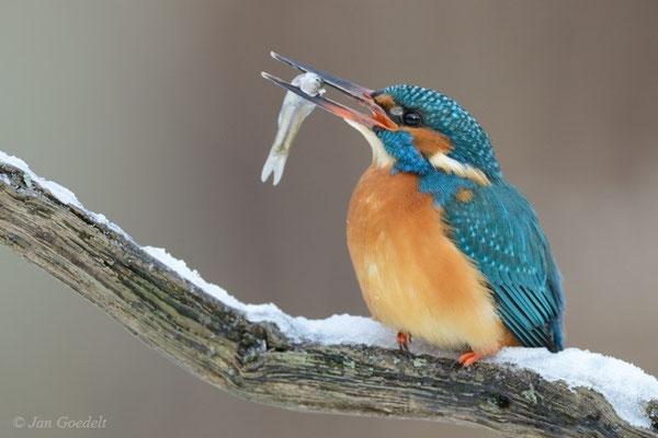 """Eisvogel mit Fisch (mehr Bilder unter """"Themenfotos"""")"""