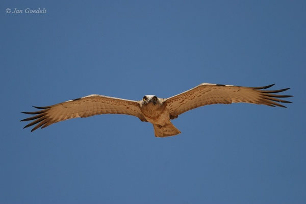 Schlangenadler im frontalen Anflug, Oman