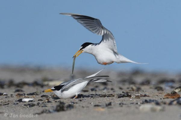 Männchen fliegt zur Paarung auf der Weibchen