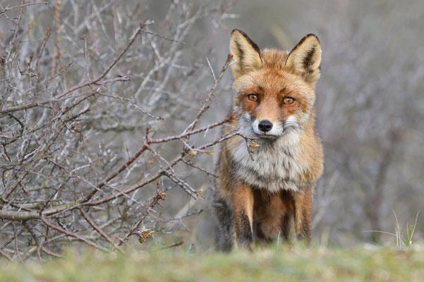 Rotfuchs schaut mich an