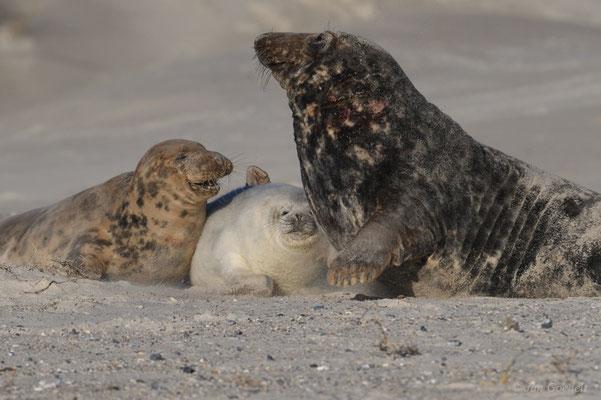 Robbenbulle überrollt Jungtier bei Annäherung an Weibchen