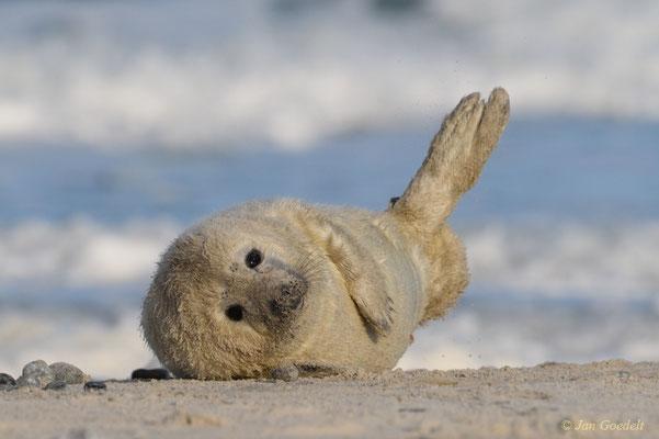 """Junge Kegelrobbe vor Nordseewellen (mehr Bilder unter """"Themenfotos"""")"""