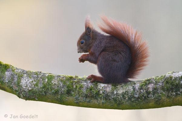 """Eichhörnchen im Baum (mehr Bilder unter """"Themenfotos"""")"""