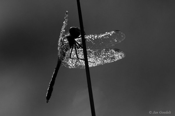 Schwarze Heidelibelle im Morgentau in schwarz-weiss