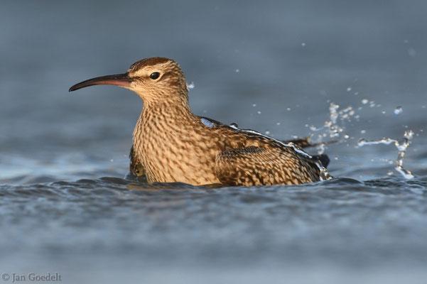 Regenbrachvogel badet