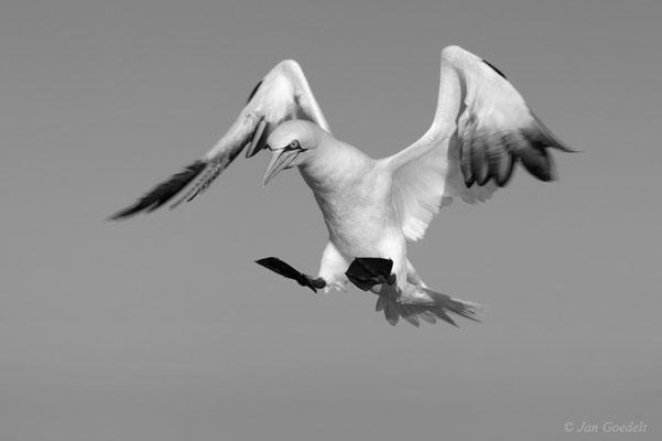 Anflug eines Basstölpels