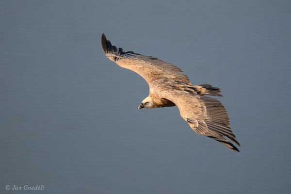 Gänsegeier fliegt über einen See