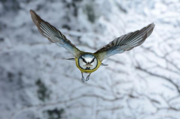 Blaumeise im frontalen Abflug vom Futterhäuschen