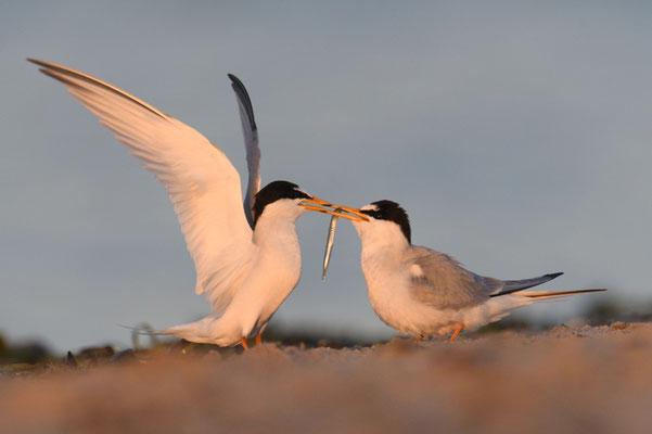 Zwergseeschwalbe übergibt ihrer Partnerin ein Brautgeschenk