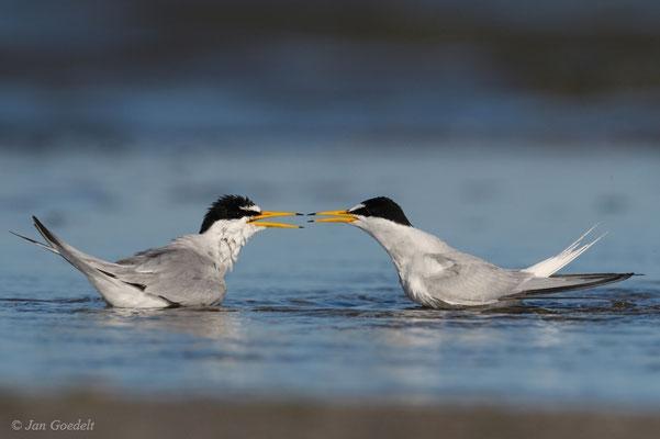 Zwergseeschwalbe im Streit